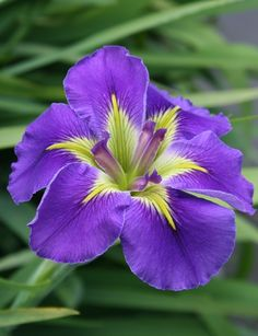 Louisiana Iris for sale buy Iris x louisiana 'Geisha Eyes'