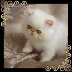 Fluffykins Sandcastles Cream Colourpoint Persian Male Cute Cats And Dogs, Cats And Kittens, Kitten Breeds, Himalayan Cat, Persian Cats, Cattery, Fluffy Cat, Kitty Kitty, Pretty Cats