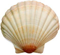 sea shells   SEA SHELL 12   PSD Detail