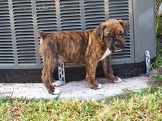 Brindle Boxer Puppies