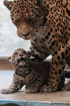 Image IMG 9327 in Wild cats album Big Cats, Cool Cats, Cats And Kittens, Cute Baby Animals, Animals And Pets, Funny Animals, Wild Animals, Beautiful Cats, Animals Beautiful