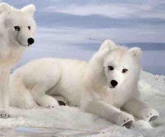 Kosen 6070 Arctic Fox - lying