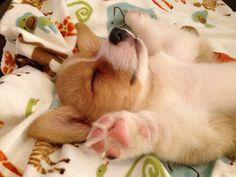 Corgi puppy sleeping corgi style