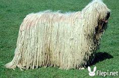 Le Komondor est une très ancienne race de chiens de berger hongrois d'origine asiatique. Il défend le troupeau contre l'attaque des loups et autres intrus.