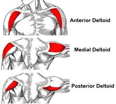 Great informative article on how to grow bigger shoulders, as the delts are often lesser trained than the upper arms and chest. Article contains videos.