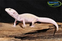 Blazing Blizzard Leopard Geckos for sale at Reptiles by Mack,, Check more at animal. Chameleon Lizard, Melanism, Reptiles And Amphibians, Albino, Leopard Geckos, Predator, Animal Pictures, Cute Animals, Creatures