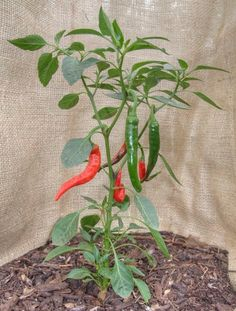 Picture of 16 Tips on Growing Hot Chilli Peppers in a Cold Climate Planting Vegetables, Growing Vegetables, Veggies, Green Chilli Plant, Worlds Hottest Pepper, Growing Peppers, Pepper Plants, Growing Greens, Exotic Plants