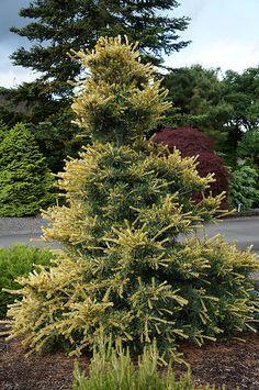 Pinus parviflora 'Ogon janome' #gardening #conifers
