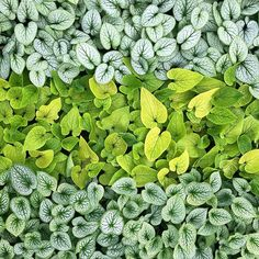 There is something magic about the metal tones mixed with verdant greens in our , don't you think? Brunnera ALCHEMY™️ 'Silver' + Brunnera 'Diane's Gold' + Brunnera ALCHEMY™️'Pewter' Plant Breeding, Landscape, Herbs, Greenhouse Growing, Amazing Gardens, Perennials, Green, Garden, Shade Perennials