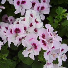 Pelargonium 'Ricky Promise'