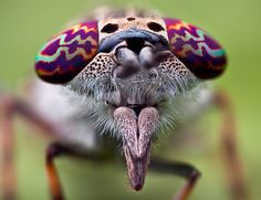 Horse fly - The reddish and gold bands seen here on the horse fly's eye will disappear when it dies, revealing the rich green underneath.