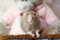 ищeт дом #крыса #крысы #спб #фотосет #питер