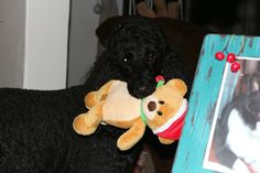 Poodle and the bear