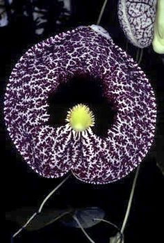 Flower power - Calico Flower - Aristolochia littoralis or Aristolochia elegans Strange Flowers, Unusual Flowers, Rare Flowers, Black Flowers, Amazing Flowers, Beautiful Flowers, Beautiful Gorgeous, Black Orchid, Unusual Plants