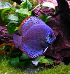 The discus is a kind of tropical fish coming from the Rivers of the Amazon.