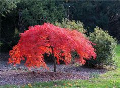 Red Japanese Maple A small tree for a shade garden Dwarf Trees For Landscaping, Front Yard Landscaping, Shade Trees, Shade Plants, Garden Trees, Trees To Plant, Garden Plants, Mini Jardin Zen, Japanese Tree