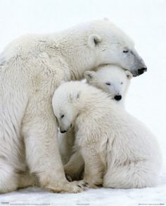 Mama Polar Bear snugglin' with her babies!