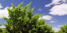 Yalumba Wines- one of the oldest family owned wineries dating back to 1849, and over 5 generations.