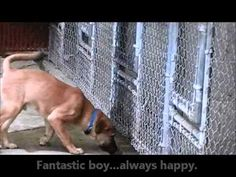 Rescue Labrador Retriever Puppies Uk Beagles Rescued From Lab