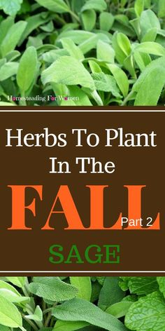 Herbs To Plant in the Fall Part 2 Sage. A Must in your Homestead Garden.