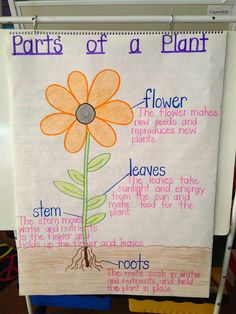 This is an another anchor chart about parts of a plant. It would help to learn new vocabularies and how they function. I would use this anchor chart to help my students' understanding. Perfect for living science. 1st Grade Science, Kindergarten Science, Elementary Science, Science Classroom, Teaching Science, Science For Kids, Science Activities, Kindergarten Schedule, Science Centers