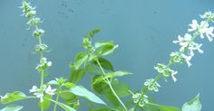 Ini 6 Manfaat Dahsyat Daun Kemangi untuk Kesehatan  Daun Kemangi biasa dipakai sebagai lalapan. Aroma daunnya sangat khas, kuat namun lem... Plants, Plant, Planting, Planets