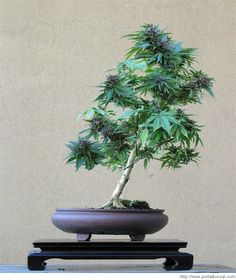 Cannabis Bonsai
