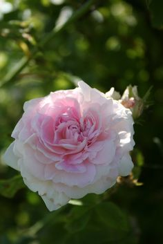 'Chloris' (France, before 1815) Alba Gallica  / Provins. Light pink rose ages to white whith a very strong fragrance. Once blooming summer or spring.