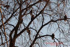 CONVOCATION collective noun for Eagles