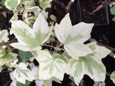 Acer campestre Carnival (CARNIVAL VARIEGATED HEDGE MAPLE) 1 - YEAR PLANT