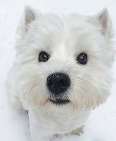 Looking for original Westie products?➡️ CLICK the link in my profile to get it! Credi