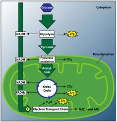 Cellular Respiration: the process that allows organisms to use (release) energy stored in the chemical bonds of glucose (C6H12O6) which is used to produce ATP that cells use to supply their energy needs; process in which the energy in glucose is transferred to ATP