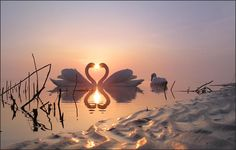 Heart shape Swans
