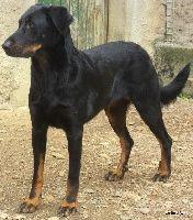 Dirka Du jardin d'avril chien de race toutes races en tous departements France inscrit sur Chiens-de-France
