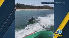 Video: Dolphins keep lifeguards company off Malibu coast