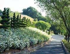 Not shy about the use of playfully exaggerated forms, the owner and garden designer, Peter Newton, employed these corkscrew juniper topiaries to whimsical effect above a bank of English garden roses.