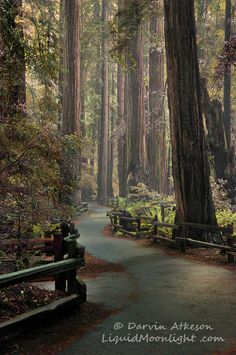 Muir Woods - Ancient Redwood Forest, California