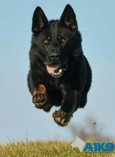 Abe getting some air. Schaefer, Black Bear, Rottweiler, Animal Kingdom, Psi, German, Horses, Animals, Animal Paintings