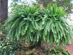 Boston Ferns. A testimonial to fertilizing with Epsom Salt - 1/2 cup to 3 gal water, weekly.