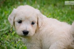 Meet Chloe a cute Goldendoodle puppy.