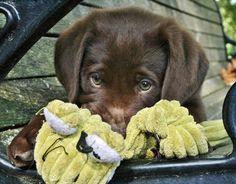Theo the Labrador Retriever Pictures 936426