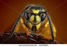 Vespidae Fotos, imagens e fotografias Stock   Shutterstock