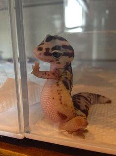 It's a gecko you idiots. A leopard gecko. Cute Little Animals, Cute Funny Animals, Funny Animal Pictures, Funny Photos, Funniest Pictures, Animal Pics, Nature Animals, Animals And Pets, Animals Photos