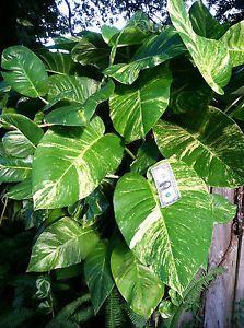 1 Cutting Giant Pothos philodendron tropical easy grow hedge or house PLANTS Pothos Vine, Pothos Plant, Easy House Plants, Home Garden Plants, Vertical Planting, Florida Plants, Tropical Plants, Tropical Gardens, Aquatic Plants