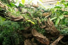 Caiman Tegu (Dracaena guianensis)