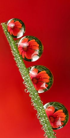 Inspiration, photographs and backgrounds: Red: water droplets with flower: Macro Photography