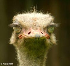 Struisvogel /  Sleeping Ostrich  (: