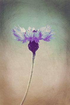 Neu in meiner Galerie bei OhMyPrints: Kornblume