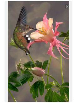 Ruby throated hummingbird & Columbine