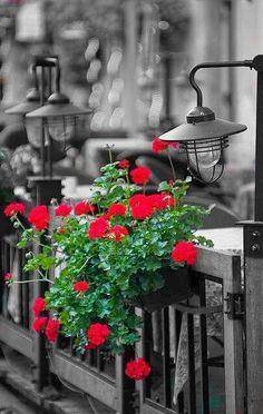Ana Rosa La-la-la Bonne vie Have a Nice Day! Color Splash, Color Pop, Splash Images, Red Geraniums, Black And White Background, Black White, Creative Pictures, Window Boxes, Garden Gates